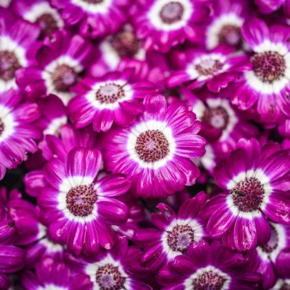 Cineraria-Plant